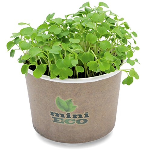 Organic Rocket Arugula Rucola Microgreens Growing Kit. Approximately 2000 seeds. Best Sprouting Set. Plant Herbs Vegetables Micro Green