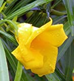 Exotic Plants Thevetia neriifolia - yellow Oleander, synonym: Thevetia peruviana - 5 Nüsse (nuts) seeds