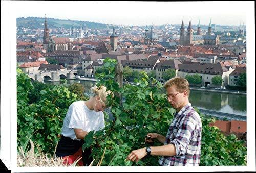 Vineyard Harvest (Vintage photo of Vineyards germany:vintage workers harvest their grapes in their vinyard.)