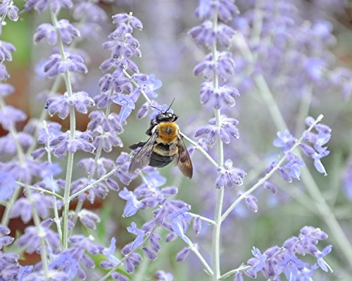 A Photograph of a Bumble Bee on Russian Sage - Botanical Print -