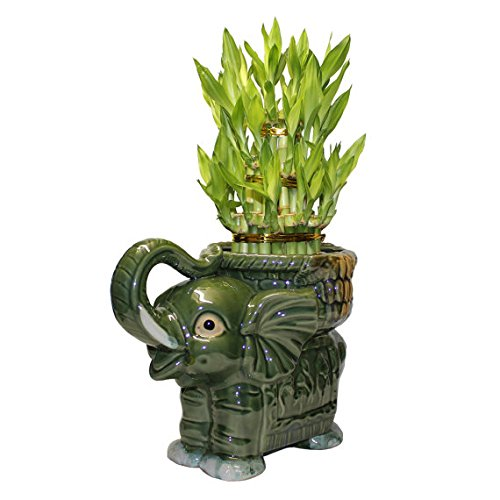 Big Three Tiered Lucky Bamboo Arrangement Large Elephant Favor Unique From Jmbamboo by JM BAMBOO