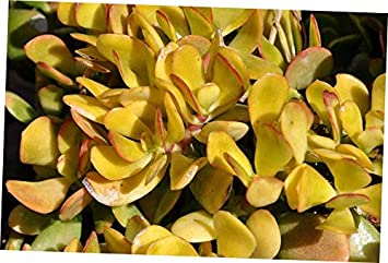 Succulent Crassula Ovata Hummel sunset golden jade plant 3 fresh cuttings