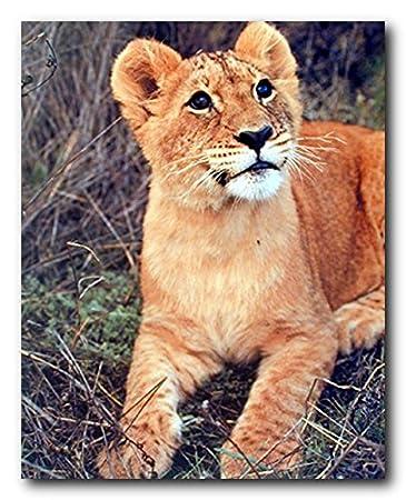 Amazon.com: Wild Lion Cub Big Cat Wildlife Animal Wall Decor Art ...