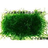 イイ水草市場 水草 ウィローモス大量(横10cm×奥行8cm×深さ2cm)と栄養素付 無農薬
