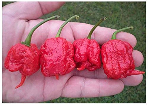 Chili Pepper Seeds 100seeds/bag Carolina Reaper, hot chili seeds Organic Rainbow Bell Ghost Pepper seeds,Non-GMO House plants for - Hot Is Justice Victoria