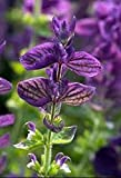 Salvia officinalis - Sage - 50 Seeds - Organically Grown - NON-GMO