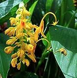Globba Schomburgkii - Dancing Girl Ginger - Rare Tropical Plant Seeds 5PC