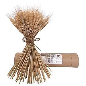 kikafok 100 Stems Dried Wheat Stalks, Golden Natural Dried Wheat Sheaves Fall Arrangement Wheat Bouquet Bundle Flower for DIY Home Table Wedding Xmas Decor (16in)