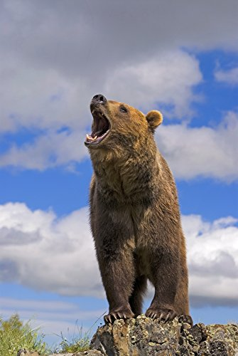 Grizzly Bear Roaring Poster Print (11 x - Bear Grizzly Pic
