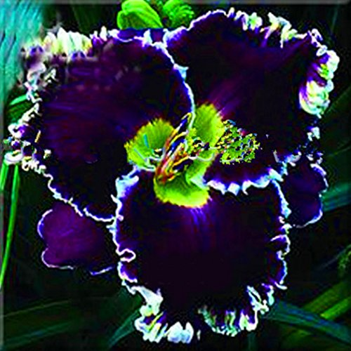 Viedoct Flowers Plant Seeds Rare Plant Seeds Foliage Garden Home (20, Hibiscus Seeds)
