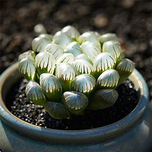 - Kasuki Germany KK Succulents Sedum Aeonium Hybrid bonsais AEONIUM 100pcs/Lot - (Color: 20)