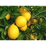 "FARM SEEDS – Self-pollinating Dwarf Meyer Lemon ""Citrus meyeri"" Indoor Outdoor Tree!"