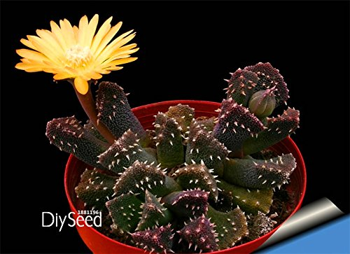 New Seeds 2015!Cactus Flowers 100Seed/Lot Cactus plant seed Rare plant seeds Foliage magical garden & home Semillas Flora,#3TYHF