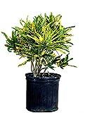 PlantVine Codiaeum variegatum 'Eleanor Roosevelt', Croton - Large - 8-10 Inch Pot (3 Gallon), Live Indoor Plant, 4 Pack