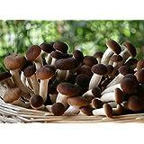 Pioppini kit coltivazione 60 Litri 18/20 kg pronto alla produzione funghi in 10 giorni