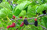 1 Red mulberry tree (Morus rubra)3 to 4 feet tall