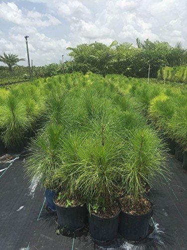 PlantVine Pinus elliottii densa, Densa Pine, South Florida Slash Pine - Large, Bush - 8-10 Inch Pot (3 Gallon), Live Plant - 4 Pack by PlantVine (Image #1)