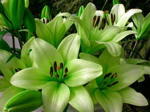 Trebbiano L.A. Hybrid Lily 3 Bulbs 14/16cm - Unique Lime Green!