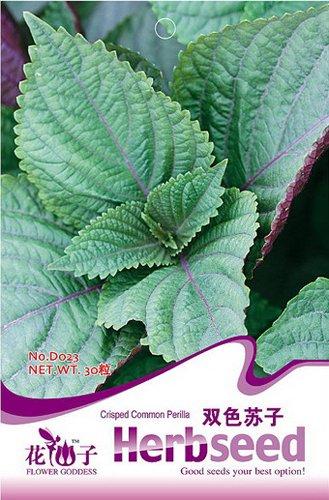 Pu/ò accumulare 1 Confezione 30 SEMI Perilla frutescens giapponese Herb Shiso D023 Acquista 2 ottenere 1!