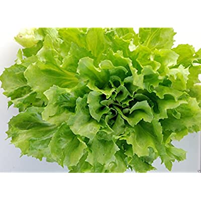 Broadleaf Batavian Endive(escarole) 500 Seeds-heirloom, Dating Back to the 1860s : Garden & Outdoor