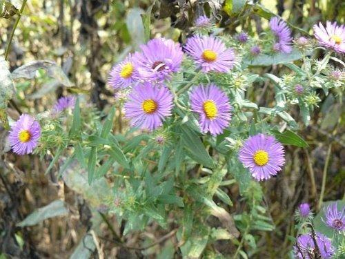 100 PURPLE NEW ENGLAND ASTER (Michaelmas Daisy) Aster Novae var Angliae Flower ()