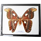 REAL VERY BIG SIZE ATLAS MOTH FRAMED DISPLAY INSECT TAXIDERMY SIZE 11X9X1 by Thai