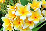 "Plumeria - Select Yellows & Whites PLANTS - Not Just Cuttings! FRAGRANT Blooms This Summer! Stout 12""-14"" well-rooted plant - Ships from USA from Easy to Grow Bulbs"