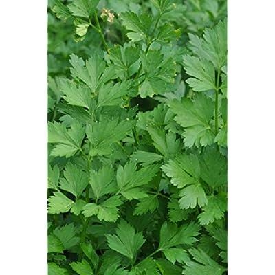 Seeds Organic herb Parsley Leaf Carnival Original from Ukraine 2 Gram : Garden & Outdoor