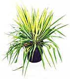 Yucca filamentosa 'Golden Sword' (Yucca) Shrub, 2 - Size Container