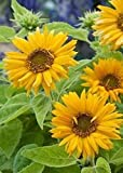 buy David's Garden Seeds Sunflower Santa Lucia FY9221 (Yellow) 100 Open Pollinated Seeds now, new 2019-2018 bestseller, review and Photo, best price $6.95