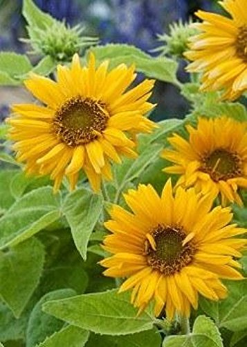 David's Garden Seeds Sunflower Santa Lucia FY9221 (Yellow) 100 Open Pollinated Seeds Dwarf Santa