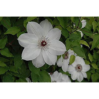 1 Root Clematis, Henryi, (Bare Root/rhizome), -flowered Vine, Now Shipping ! : Garden & Outdoor