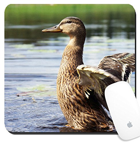 Luxlady Suqare Mousepad 8x8 Inch Mouse Pads/Mat design IMAGE ID: 22966872 Juvenile mallard duck Anas platyrhyncos flapping its short wings on a lake growing primary feathers vi Growing Duck