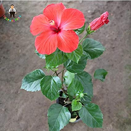 Amazoncom 100 Giant Hibiscus Flower Plants Hardy And Mix Color