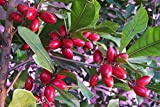 MIRACLE FRUIT PLANT (tree) Synsepalum dulcificum USA