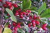 MIRACLE FRUIT PLANT (tree) Synsepalum dulcificum USA