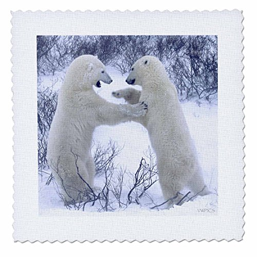 3dRose qs_45684_1 Polar Bears Fighting 'Ursus Maritimus' Churchill, Canada-Quilt Square, 10 by 10-Inch
