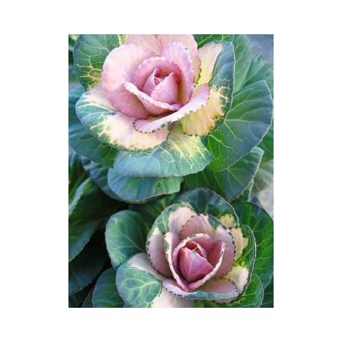 """Top (AKACR)~""""CRANE BICOLOR"""" FLOWERING KALE""""~Seed!~~~~Wonderful in Autumn!"""