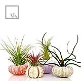 AIR PLANT KIT - Includes: 4 Tillandsia LIVE AIR PLANTS + 4 Assorted Sea Urchin Shells + GIFT BOX Genuine Sea Shell PLANTERS. Hand Picked. TERRARIUM Decor Container (Green - Pink - Purple - Sputnik)