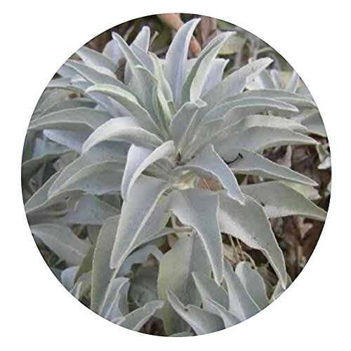 - helegeSONG Natural Ornamental Plant 100Pcs California White Sage Seeds Sacred Salvia Apiana Ceremonial Aromatics for Balcony, Roof, Office