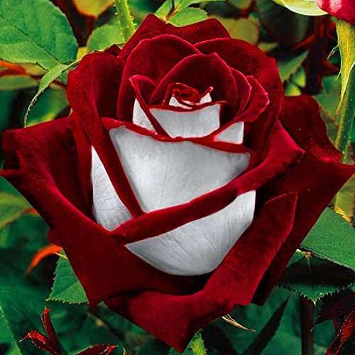 Rare Seed Osiria Red and White Rose Seeds for Family Plant House Garden, 100pcs/Bag by Yosoo