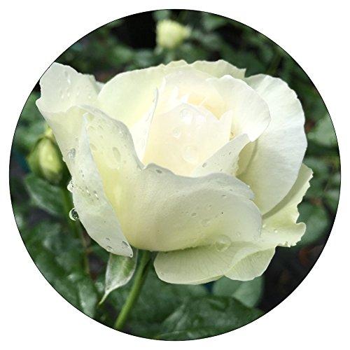 Bolero Rose - Romantica Roses (Romantica Roses)