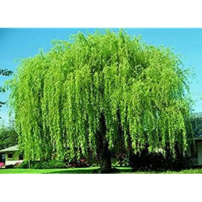 AchmadAnam - Live - 4 Wisconsin Weeping Willow Cuttings - Vibrant Green Wood and Leaves. E16 : Garden & Outdoor