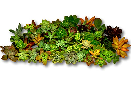 Gorgeous All Rosette Succulent Cuttings By Fat Plants San Diego (75) by Fat Plants San Diego