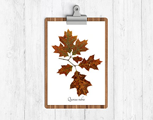Red Oak - Botanical Art Print - Herbarium Fall Decor - Pressed Botanical Reproduction