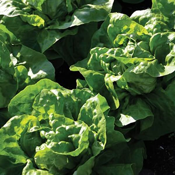 1 Buttercrunch Lettuce Seed for Planting Indoors or Outdoor; Great Gardening Gift Non-GMO Heirloom Packet with Instructions to Plant a Home Vegetable Garden Sow Right Seeds