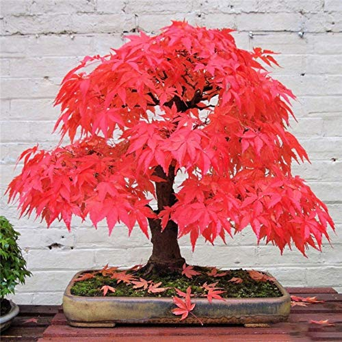 Perennial Maple Seeds to Grow,Japanese Maple Seed Collection Maple Syrup Potted Rare Bonsai Trees Plants Home Garden Bonsai Mixed 20 - Collection Maple Ridge