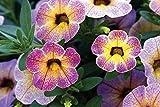 CALIBRACHOA - CHAMELEON BLUEBERRY SCONE LIVE PLANTS - STARTERS - PLUGS