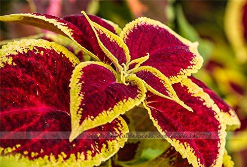 100% real Coleus blumei Samen Seltene Coleus blumei Regenbogen mischen Farbe Blumensamen in Bonsai-Pflanzen-Hausgarten-Blumen 50pcs / bag