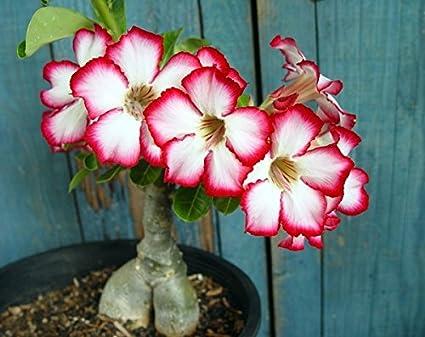 Tropica - Suculentas - Adenium (Adenium obesum) - 8 Semillas